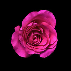 pink rose flower on black background