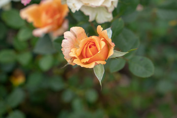 rose, roses, flowers, leaf