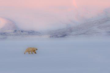 Polar bear (ursus maritimus) in Billefjorden, near Pyramiden, in western Spitsbergen Island, Svalbard..