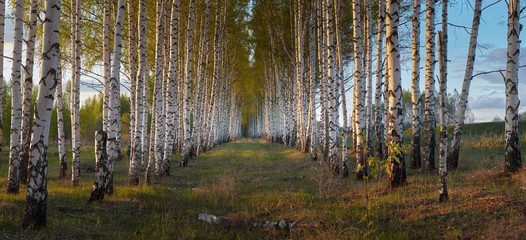 Evening in birch grove
