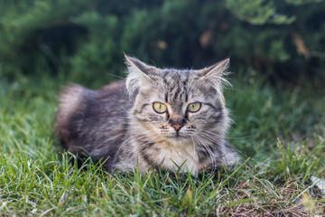 gray cat lies on the green grass