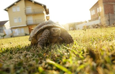 low angle view of walking turtle on green grass at garden