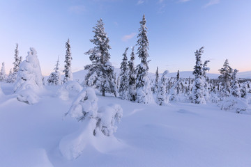 Frozen trees in the snowy woods, Pallas-Yllastunturi National Park, Muonio, Lapland, Finland