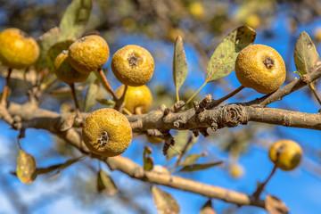 Wild pear fruit on branch