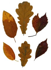 Set of autumn leaves isolated on white background. Herbarium. Leaves of different trees and shrubs, the top view. Photo close-up