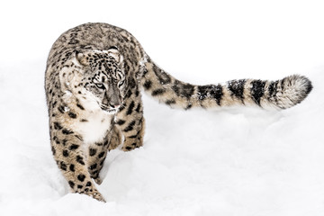 Snow Leopard on the Prowl XV