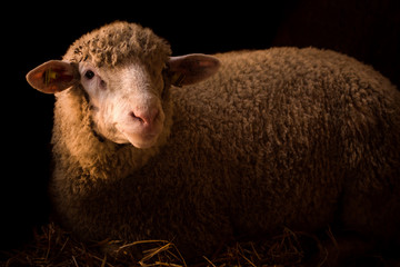 sheep livestock farm animal