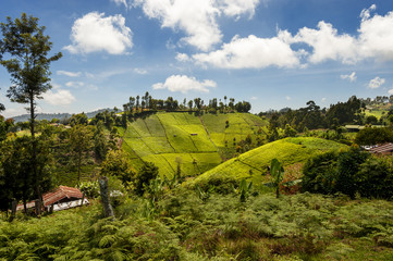 View of tea plantation on the slopes of Mount Kenya