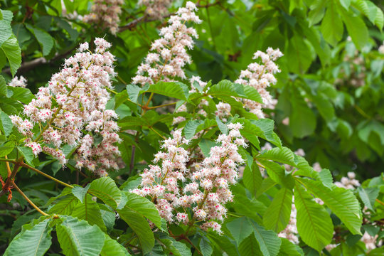 Blooming horse chestnut tree, Castanea