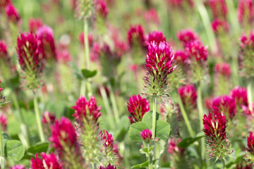 Red Clover in Detail on the spring Field