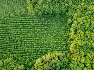 Wall Mural - Forest and plantations of young trees. Concept of forest conservation. Drone photographу