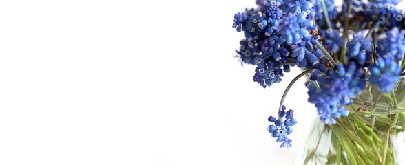 Bouquet of blossoming muscari isolated on white background
