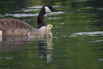 Mutterliebe - Gänse Kücken schwimmen im Wasser - Wildgans Nachwuchs