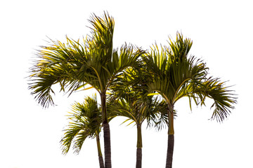 Palm tree with white background
