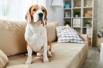 Portrait of purebred beagle dog sitting on couch in modern apartment interior and looking at camera, copy space