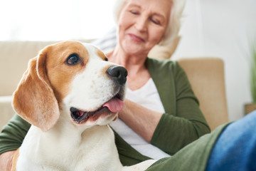 Portrait of gorgeous purebred beagle dog enjoying rubs from his senior owner sitting on couch together  at home, focus on foreground, copy space