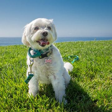 White Dog on Grass Near Ocean