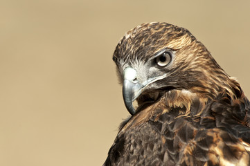 Red Tailed Hawk Portrait