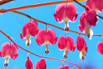 Pink bleeding heart flowers bouquet on background of blue sky. Bouquet of broken hearts flowers with selective focus.