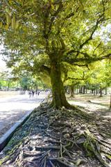 大きな根の木