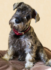 puppy of a miniature schnauzer
