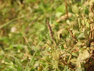 crowfoot grass