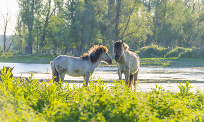 Feral horses in a field along a lake in the light of sunrise in spring