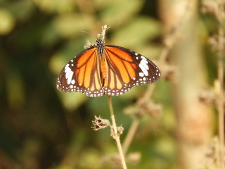 beautiful Monarch Butterfly also called as Danaus plexippus or Nymphalidae with blurred background