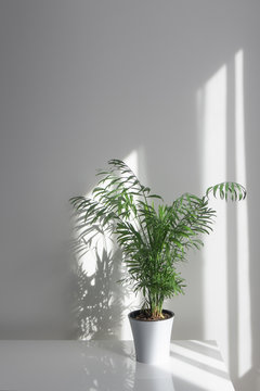 Green plant Areca in a flowerpot on a table against a white wall background