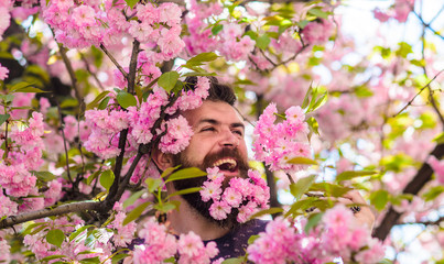 Tenderness concept. Man with beard and mustache on happy face near tender pink flowers. Bearded man with fresh haircut with bloom of sakura on background. Hipster with sakura blossom in beard.