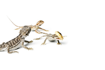 Agama. Baby Bearded Dragons and worm on white background.
