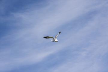 gull in fly at Lofoten in Norway