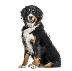 Bernese mountain dog in portrait against white background