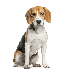 Beagle dog in portrait against white background