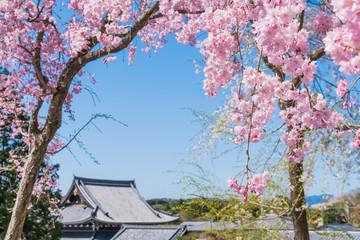 京都の春の風景 満開の桜 京都 日本