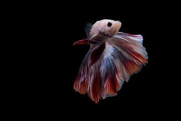 Siamese Fighting Fish | Betta Fish | Front view | Red and blue Silver color