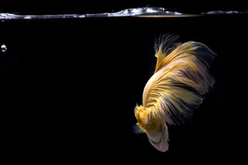 Siamese Fighting Fish | Betta Fish | Back view | Yellow color