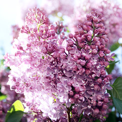 Lilac branches in the sun in the spring