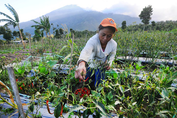 A farmer picks chili peppers on a farm with Mount Merapi volcano in the background after its alert level was increased following a series of minor eruptions in Boyolali, Central Java