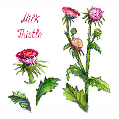 Milk Thistle (Silybum marianum, cardus marianus, Marian, Saint Mary's, Mediterranean or Scotch thistle) isolated on white background hand painted watercolor illustration with inscription
