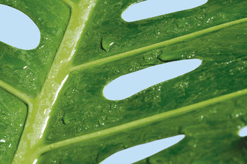 Macro water drop on Monstera deliciosa or Swiss cheese plant Tropical leaves