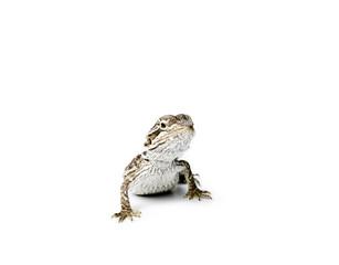 Agama. Baby Bearded Dragon on white background.