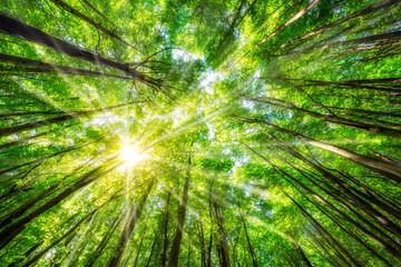 Grüne Blätter im Wald im Sommer mit Sonnenstrahlen durch die Wipfel