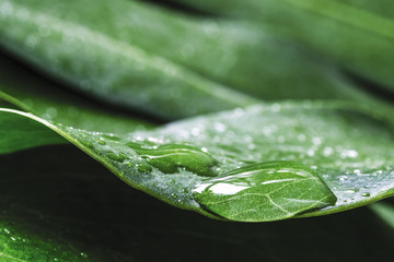 Wall Mural - Macro water drop of dew on Monstera deliciosa or Swiss cheese plant Tropical leaves with copy space