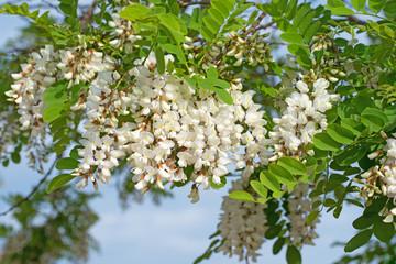 Blühende Robinie, Robinia pseudoacacia