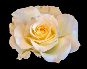 Fine art still life color flower front view macro photo of a wide open blooming yellow white pink rose blossom with detailed texture on black background