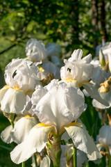 White iris flower. Flowering spring garden