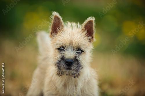 Cairn Terrier puppy dog portrait in nature