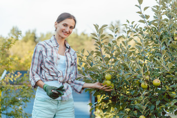 Woman in hobby garden harvesting apples from tree outdoors
