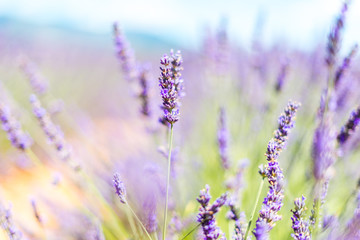 Photo Blinds Lavender lavande - provence